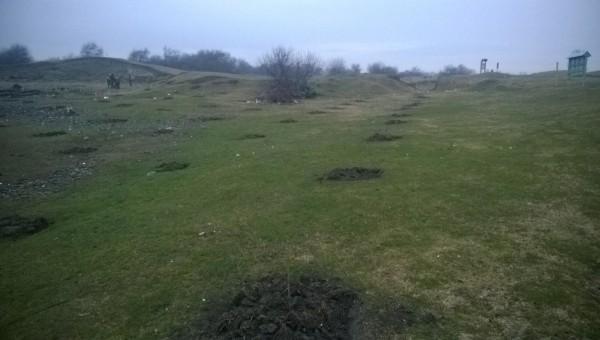 Pregatire plantare Salix alba