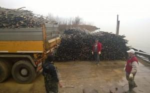 Saplings ready to be shipped