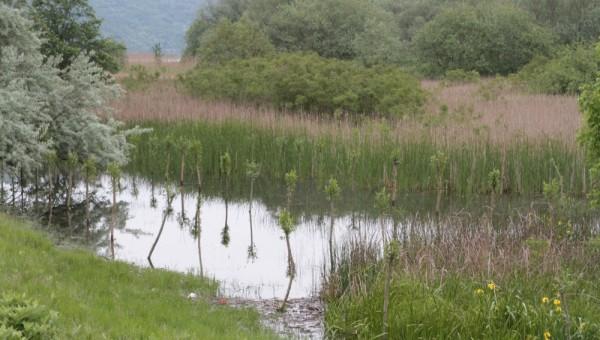 Plantatie salcie alba Socol - Bazias