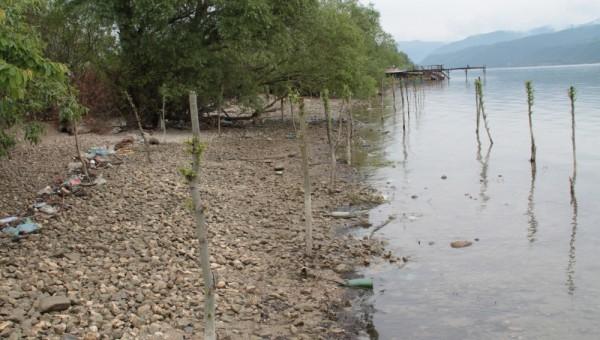 Plantatie salcie Sichevita