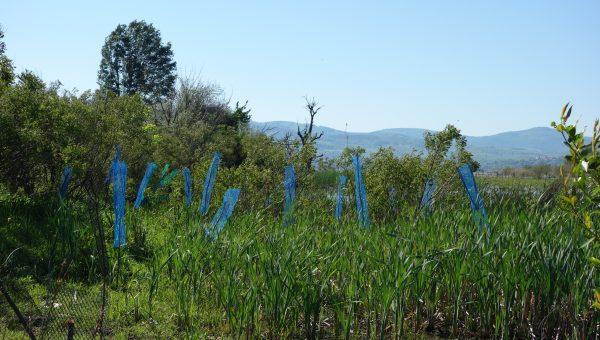 Plantatie Ostrovul Moldova Veche